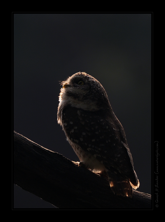 Spotted Owlet Portrait in Backlighting | Fine Art | Creative & Artistic Nature Photography | Copyright © 1993-2017 Ganesh H. Shankar