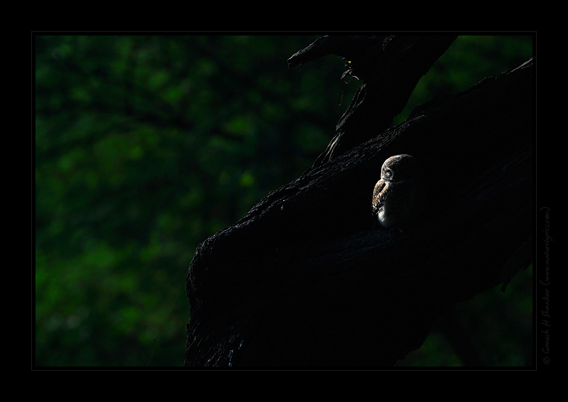 Spotted Owlet in Forest | Fine Art | Creative & Artistic Nature Photography | Copyright © 1993-2017 Ganesh H. Shankar