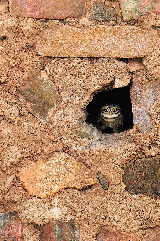 Spotted Owlet in a Hole | Fine Art | Creative & Artistic Nature Photography | Copyright © 1993-2016 Ganesh H. Shankar