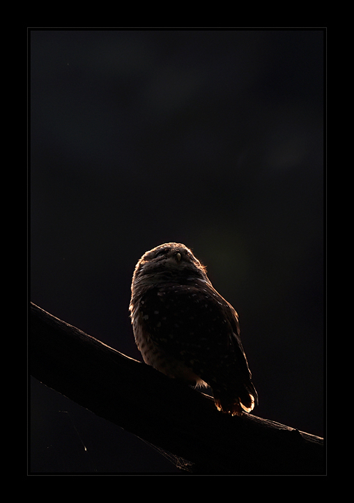 Contour of Spotted Owlet in backlight | Fine Art | Creative & Artistic Nature Photography | Copyright © 1993-2017 Ganesh H. Shankar