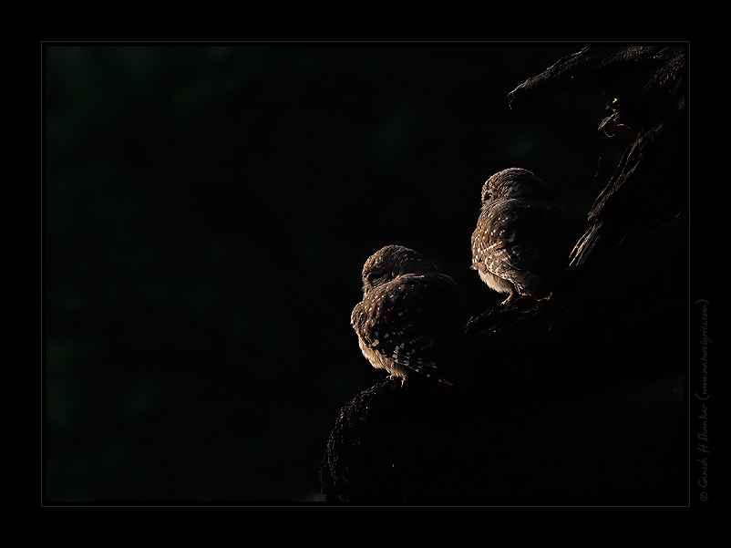 Spotted owlets in side light | Fine Art | Creative & Artistic Nature Photography | Copyright © 1993-2017 Ganesh H. Shankar