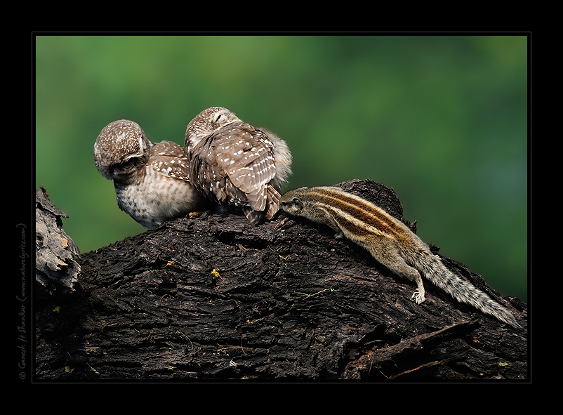 Spotted Owlets and a Squirrel | Fine Art | Creative & Artistic Nature Photography | Copyright © 1993-2016 Ganesh H. Shankar