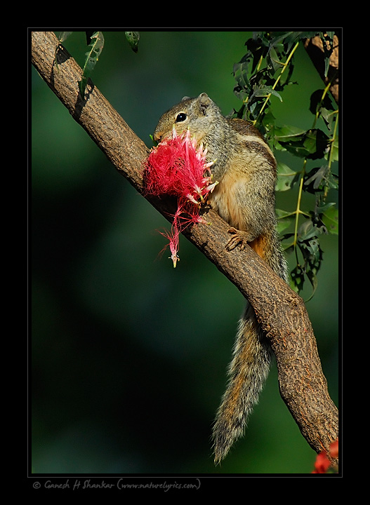Squirrel with Flower | Fine Art | Creative & Artistic Nature Photography | Copyright © 1993-2017 Ganesh H. Shankar