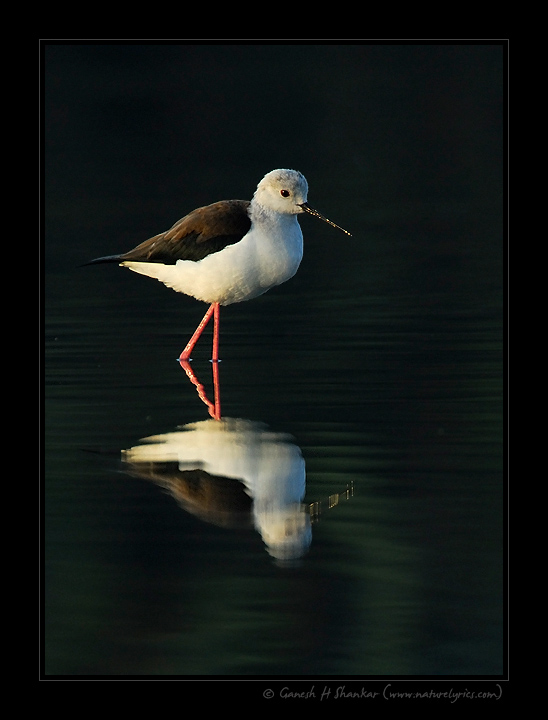 Black-Winged Stilt | Fine Art | Creative & Artistic Nature Photography | Copyright © 1993-2017 Ganesh H. Shankar