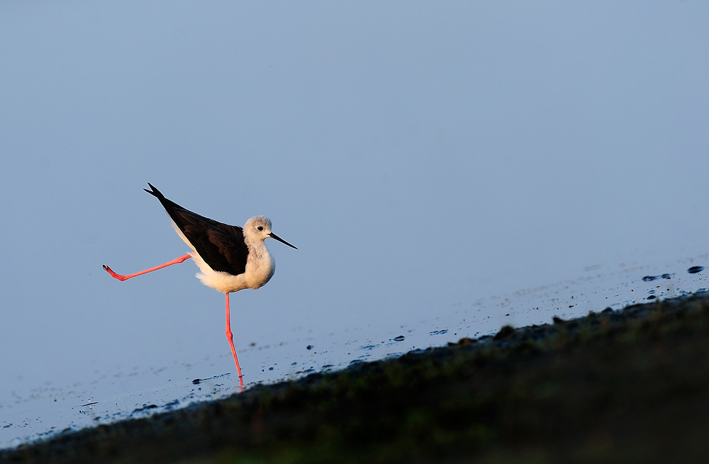 Black Winged Stilt  | Fine Art | Creative & Artistic Nature Photography | Copyright © 1993-2017 Ganesh H. Shankar
