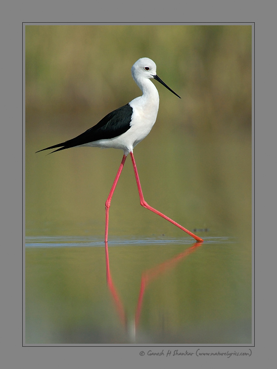 Black Winged Stilt - Walk | Fine Art | Creative & Artistic Nature Photography | Copyright © 1993-2017 Ganesh H. Shankar