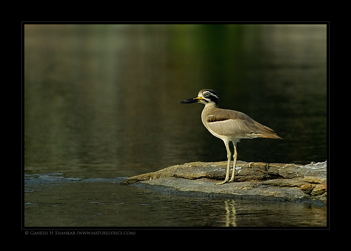 Great Thick-knee | Esacus Recurvirostris | Fine Art | Creative & Artistic Nature Photography | Copyright © 1993-2017 Ganesh H. Shankar