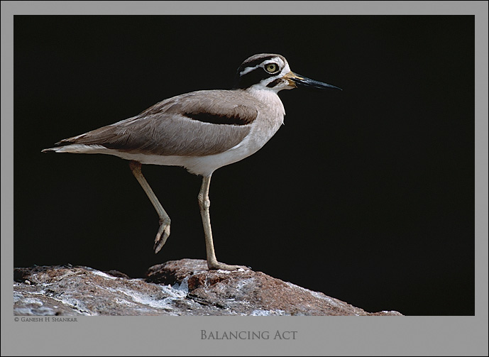 Great Thick-knee | Fine Art | Creative & Artistic Nature Photography | Copyright © 1993-2017 Ganesh H. Shankar