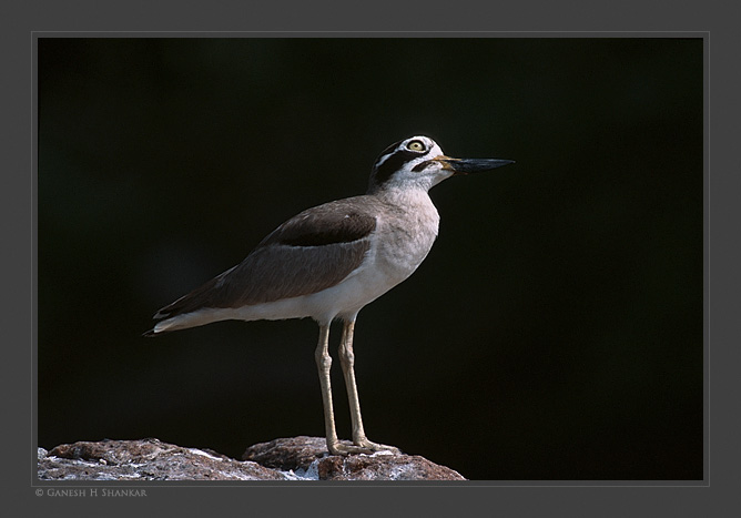 Great Thick-knee | Esacus Recurvirostris | Fine Art | Creative & Artistic Nature Photography | Copyright © 1993-2016 Ganesh H. Shankar