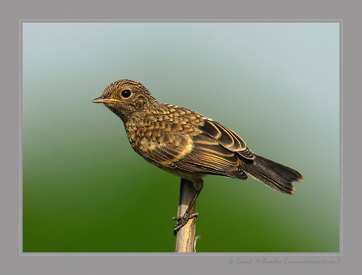 Common Stonechat (Juvenile)  | Fine Art | Creative & Artistic Nature Photography | Copyright © 1993-2017 Ganesh H. Shankar