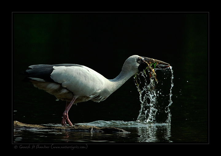 Asian Openbill Stork | Anastomus Oscitans | Fine Art | Creative & Artistic Nature Photography | Copyright © 1993-2016 Ganesh H. Shankar
