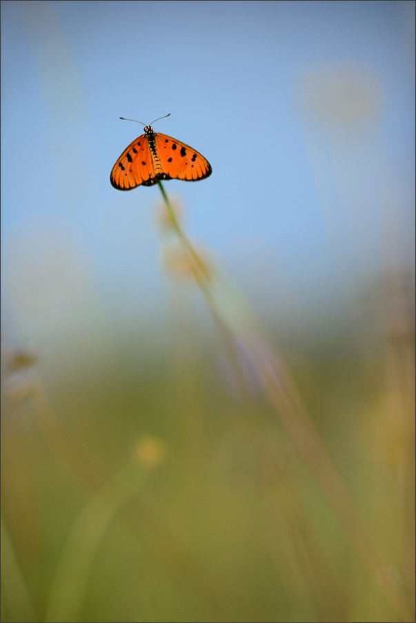 Tawny Coster in Grass | Fine Art | Creative & Artistic Nature Photography | Copyright © 1993-2017 Ganesh H. Shankar