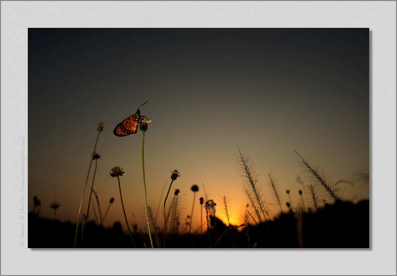 Tawny Coster at Sunrise | Fine Art | Creative & Artistic Nature Photography | Copyright © 1993-2016 Ganesh H. Shankar