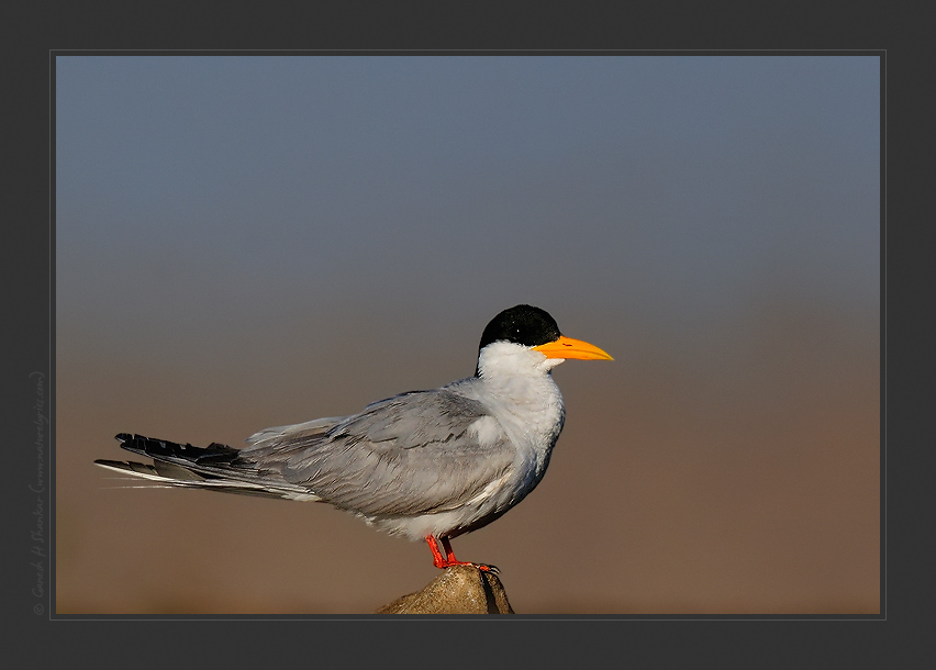 River Tern, TG Halli near Bangalore | Fine Art | Creative & Artistic Nature Photography | Copyright © 1993-2017 Ganesh H. Shankar