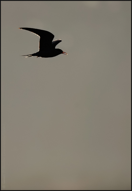 River Tern in Flight | Fine Art | Creative & Artistic Nature Photography | Copyright © 1993-2017 Ganesh H. Shankar