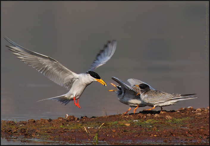River Tern Flight Feeding Young ones  | Fine Art | Creative & Artistic Nature Photography | Copyright © 1993-2016 Ganesh H. Shankar