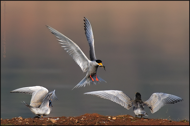River Tern Fish Feeding  | Fine Art | Creative & Artistic Nature Photography | Copyright © 1993-2017 Ganesh H. Shankar