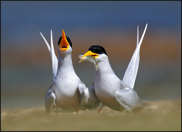 River Terns Feeding | Fine Art | Creative & Artistic Nature Photography | Copyright © 1993-2017 Ganesh H. Shankar