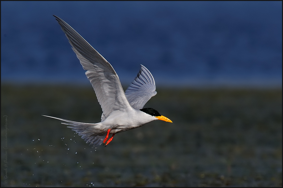 Tern Take Off | Fine Art | Creative & Artistic Nature Photography | Copyright © 1993-2017 Ganesh H. Shankar