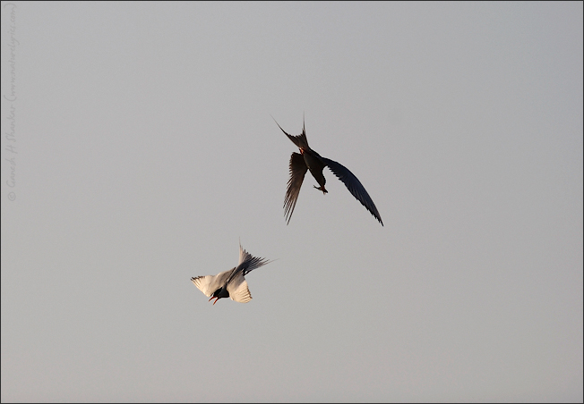 Terns in Love - courtship feeding | Fine Art | Creative & Artistic Nature Photography | Copyright © 1993-2017 Ganesh H. Shankar