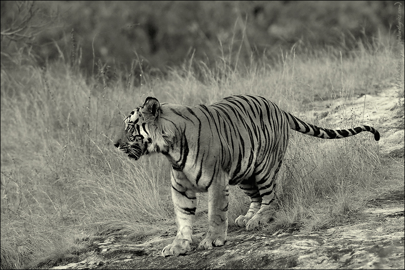 Black and white portrait of the tiger | Fine Art | Creative & Artistic Nature Photography | Copyright © 1993-2017 Ganesh H. Shankar