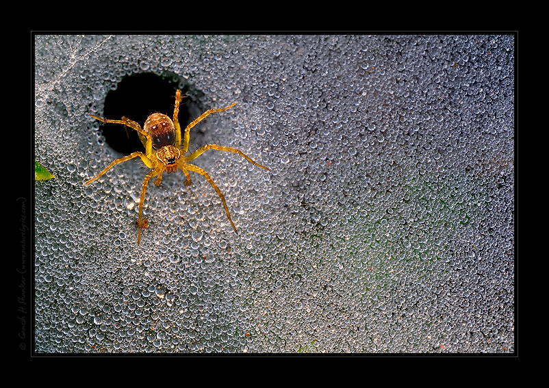 Tunnel Spider and Dew | Fine Art | Creative & Artistic Nature Photography | Copyright © 1993-2017 Ganesh H. Shankar