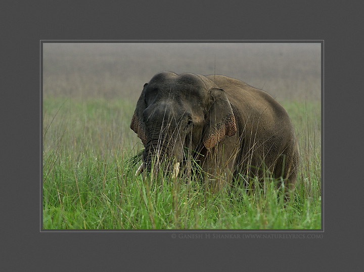 Tusker in Grassland | Fine Art | Creative & Artistic Nature Photography | Copyright © 1993-2017 Ganesh H. Shankar
