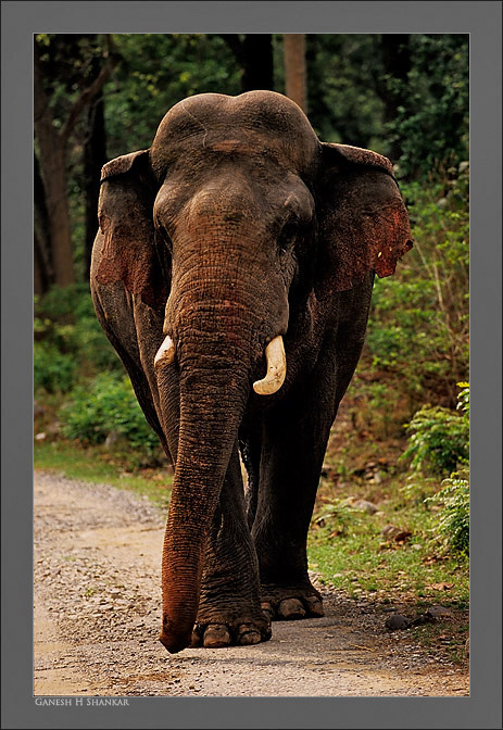 Tusker in Forest | Fine Art | Creative & Artistic Nature Photography | Copyright © 1993-2017 Ganesh H. Shankar