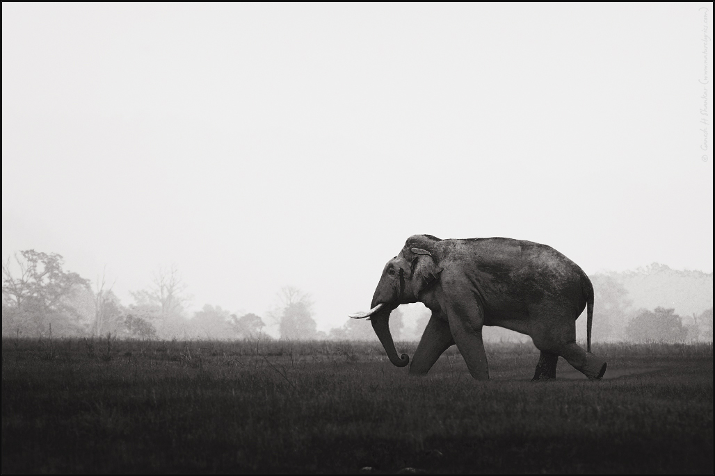Walking Tusker | Fine Art | Creative & Artistic Nature Photography | Copyright © 1993-2017 Ganesh H. Shankar