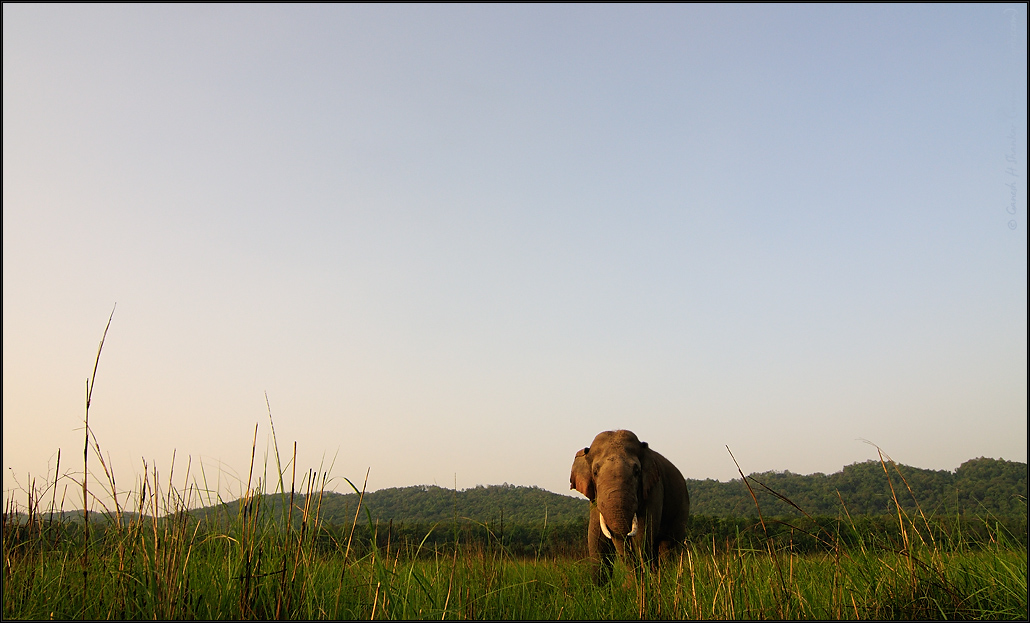 Tusker in Grassland of Corbett National Park, India | Fine Art | Creative & Artistic Nature Photography | Copyright © 1993-2017 Ganesh H. Shankar