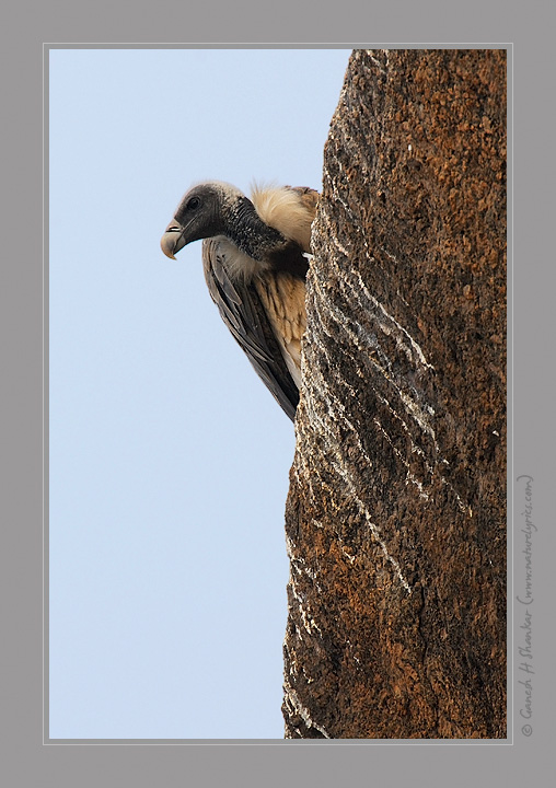 Vulture on Edge | Fine Art | Creative & Artistic Nature Photography | Copyright © 1993-2017 Ganesh H. Shankar