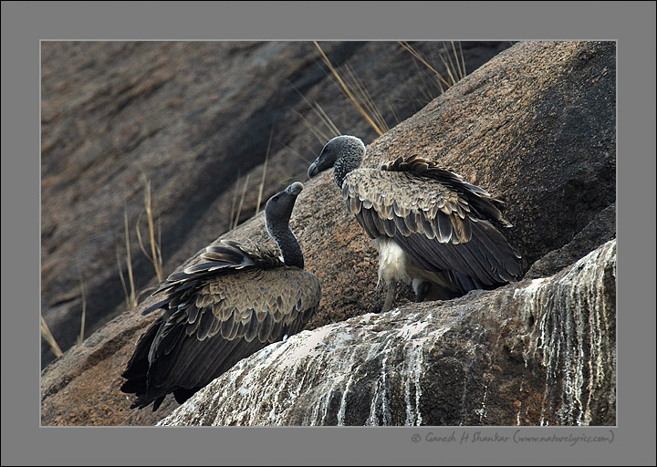 Indian Vulture Pair | Fine Art | Creative & Artistic Nature Photography | Copyright © 1993-2017 Ganesh H. Shankar