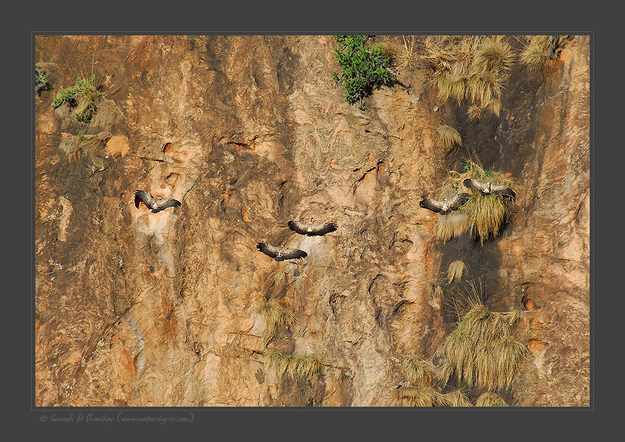 Indian Vulture Scape | Fine Art | Creative & Artistic Nature Photography | Copyright © 1993-2016 Ganesh H. Shankar