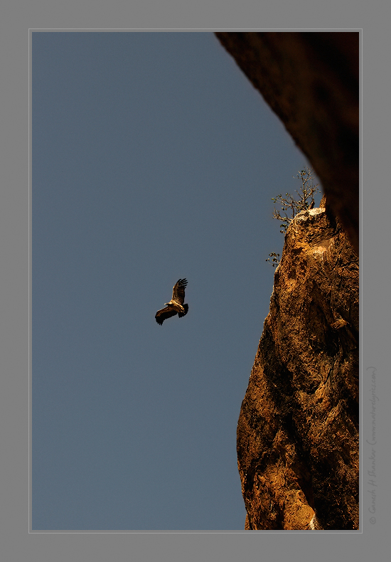Indian Vulture | Gyps Indicus | Take off | Fine Art | Creative & Artistic Nature Photography | Copyright © 1993-2017 Ganesh H. Shankar