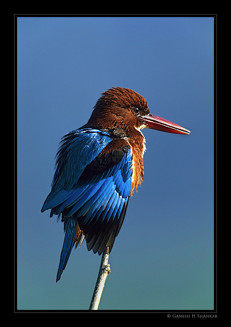 White Throated Kingfisher Portrait | Fine Art | Creative & Artistic Nature Photography | Copyright © 1993-2017 Ganesh H. Shankar