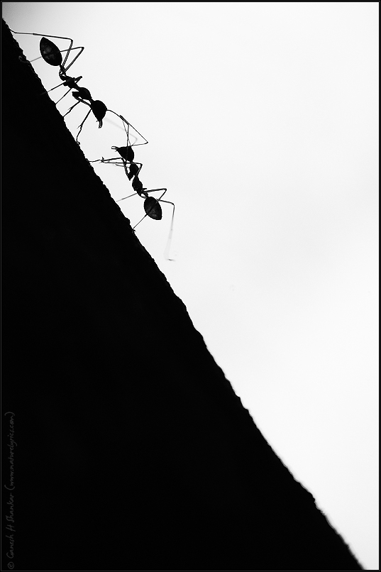 Weaver Ants | Fine Art | Creative & Artistic Nature Photography | Copyright © 1993-2017 Ganesh H. Shankar