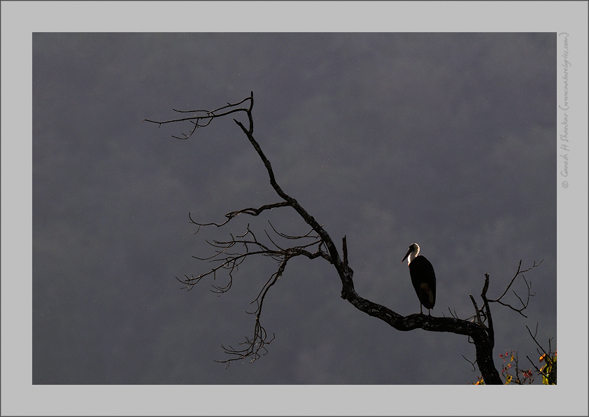 Woolly-necked Stork, Western Ghats | Fine Art | Creative & Artistic Nature Photography | Copyright © 1993-2016 Ganesh H. Shankar
