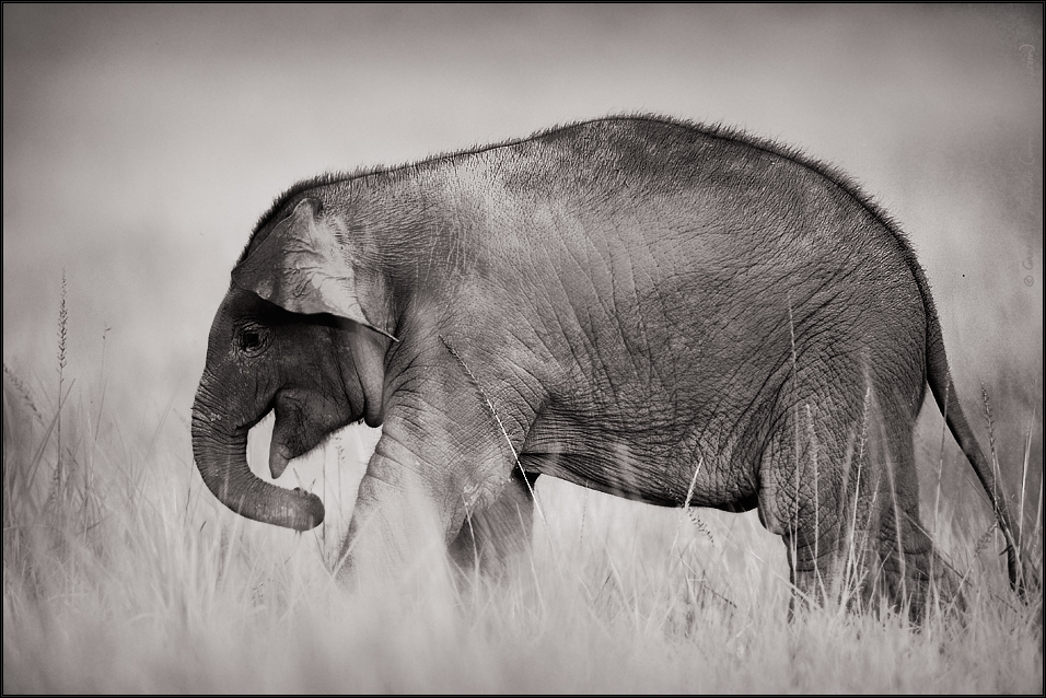 Elephant Portrait - A young one, Corbet National Park, India | Fine Art | Creative & Artistic Nature Photography | Copyright © 1993-2017 Ganesh H. Shankar