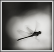 Dragonfly in Flight | bw Fine Art Nature Photography