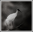 Ibis in Rain | bw Fine Art Nature Photography