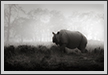 Rhino - Look  | bw Fine Art Nature Photography