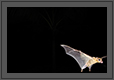 Bat in Flight at Night | creative_visions Fine Art Nature Photography