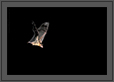 Fruit Bat in Flight at Night | color Fine Art Nature Photography