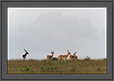 Blackbucks in Grassland | fauna Fine Art Nature Photography