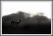 Blackbuck in evening | bw Fine Art Nature Photography