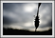 Blister Beetle  Silhoutte  | macro Fine Art Nature Photography
