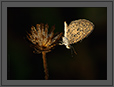 Pale Grass Blue Butterfly in Dew | macro Fine Art Nature Photography