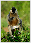 Capped Langur - Portrait, Kaziranga National Park | fauna Fine Art Nature Photography