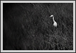 Cattle Egret | bw Fine Art Nature Photography