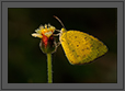 Common Grass Yellow Butterfly | color Fine Art Nature Photography